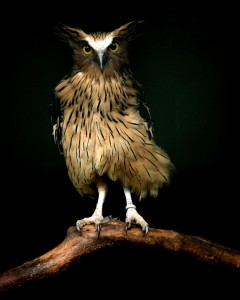 malay_fish_owl