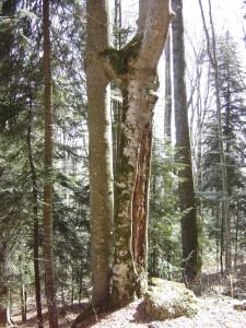 Copac cu rana