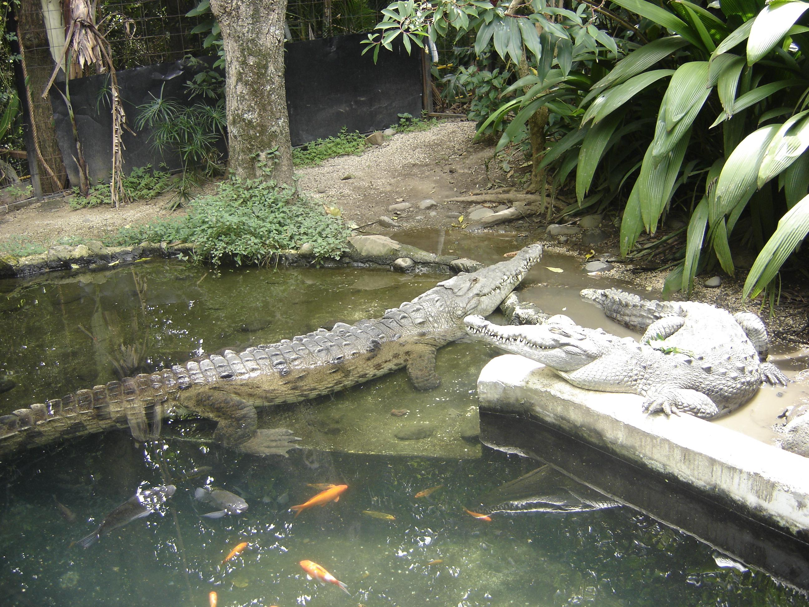 crocodilii_zambitori